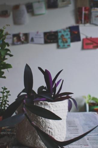 tradescentia purple heart